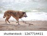 dog walking at the beach | Shutterstock . vector #1267714411