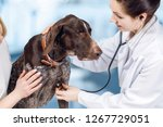 a vet is touching a dog's chest ... | Shutterstock . vector #1267729051