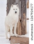 Wild Alaskan Tundra Wolf Is...