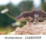 The Locally Endangered Bi-colored Shrew (Crocidura leucodon) in it's Natural Habitat - stock photo