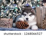 Stock photo puppy new year s puppy alaskan malamute christmas dog 1268066527