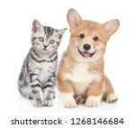 Stock photo happy corgi puppy with open mouth and sad tabby kitten together isolated on white background 1268146684