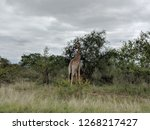 giraffes spotted feeding in... | Shutterstock . vector #1268217427