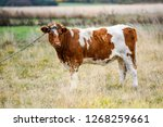 cow in the pasture and a string.... | Shutterstock . vector #1268259661