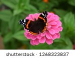 Red Admiral Butterfly On A Pink ...