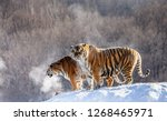 Two Siberian Tigers Stand On A...