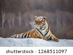Siberian Tiger Lying On A Snow...