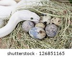White Texas Rat Snake On A...