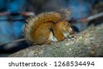 Stock photo a sleeping red squirrel 1268534494