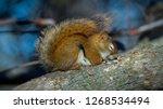 a sleeping red squirrel | Shutterstock . vector #1268534494
