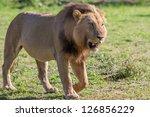 Lion In Africa  Safari