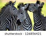wild zebra socialising in africa | Shutterstock . vector #126856421