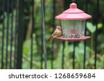 tiny female northern cardinal...   Shutterstock . vector #1268659684