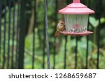 tiny female northern cardinal...   Shutterstock . vector #1268659687