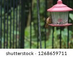 tiny female northern cardinal... | Shutterstock . vector #1268659711