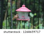 tiny female northern cardinal... | Shutterstock . vector #1268659717