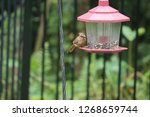 tiny female northern cardinal... | Shutterstock . vector #1268659744