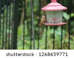 tiny female northern cardinal...   Shutterstock . vector #1268659771