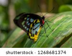 close up of a male cairns... | Shutterstock . vector #1268681374