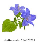 campanula blue flower isolated...
