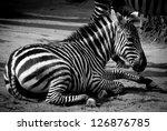 zebra black and white - stock photo