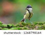 the great tit  parus major  is...   Shutterstock . vector #1268798164