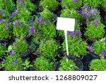 purple campanula flowers... | Shutterstock . vector #1268809027