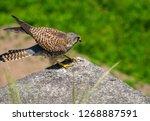 common kestrel got a lizard | Shutterstock . vector #1268887591