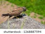 common kestrel got a lizard | Shutterstock . vector #1268887594