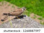 common kestrel got a lizard | Shutterstock . vector #1268887597