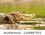 Spectacled Caiman   Caiman...