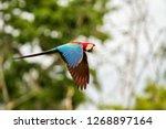 red parrot in flight. macaw... | Shutterstock . vector #1268897164