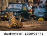Small photo of Showstopper A tiger cub at Ranthambore Tiger Reserve, India