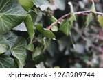 a wall of common ivy. usuable... | Shutterstock . vector #1268989744