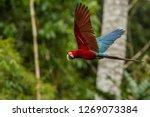 red parrot in flight. macaw... | Shutterstock . vector #1269073384