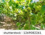 txakoli  vineyard in getaria ... | Shutterstock . vector #1269082261