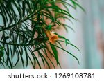 needle like leaves of a plant | Shutterstock . vector #1269108781