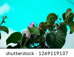 broad plant leaves and purple... | Shutterstock . vector #1269119137