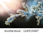 Snow Covered Evergreen Branch...
