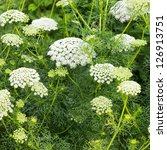 Small photo of Laceflowers or ammi majus in summer garden
