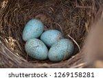 Blackbird's Nest  Turdus Merul...
