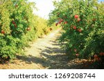 Fresh Pomegranate Fruits On Th...