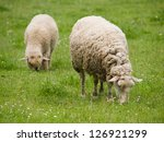Pair Of Sheep On The Meadow