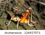 Small photo of Male Camel cricket (Lutosa sp.) in rainforest, Ecuador