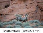 Desert Bighorn Rams At The...