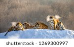 Several Siberian Tigers On A...