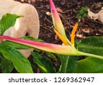 flower of heliconia plant  in... | Shutterstock . vector #1269362947