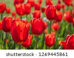 tulips in the garden | Shutterstock . vector #1269445861