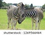 cute zebra couple nuzzling in... | Shutterstock . vector #1269566464