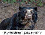 spectacled bear  tremarctos... | Shutterstock . vector #1269594547
